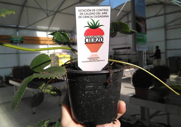 El proyecto #VigilantesdelCierzo ha repartido 1.000 plantas de fresas por toda Zaragoza para medir la calidad de su aire