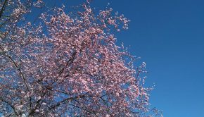 La floración de los almendros en Zaragoza