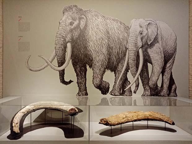 fosiles de mamuts y elefantes prehistoricos en el Museo de Ciencias Naturales de Zaragoza