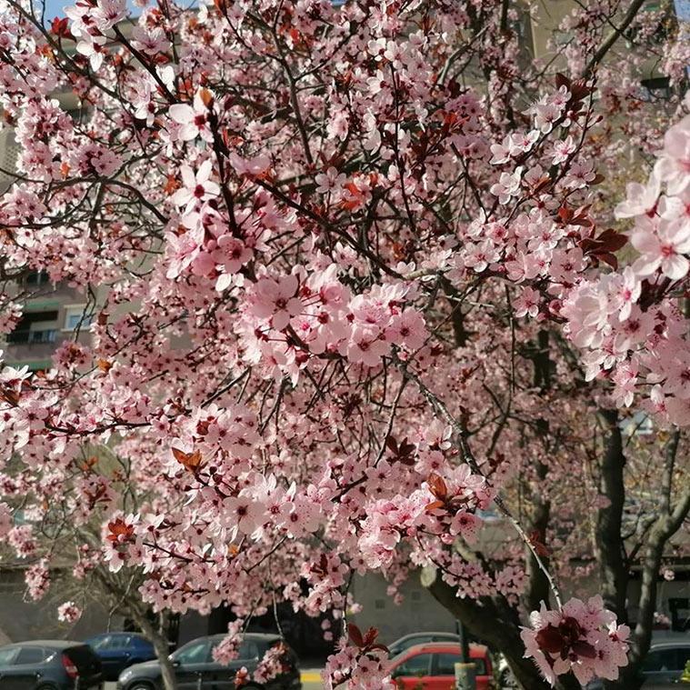 Los almendros comienzan a florecer entre febrero y marzo, dependiendo del clima