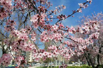 La floración de los almendros en los parques de Zaragoza en primavera