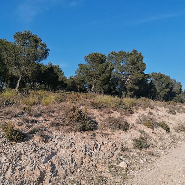 camino entre pinos carrascos en los pinares de venecia de zaragoza